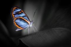 Small World - Clearwing Butterfly, Amazonas, Peru