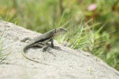 Lizard in the Desert Dunes