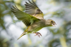Greenfinch in Flight - shutter 2000; aperture f8; ISO 3200