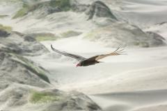 Vulture patrols the Coastal Dunes and Desert Sands
