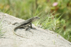 Lizard in the Desert Dunes